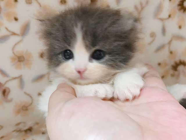 スコティッシュフォールドの子猫販売情報 , ブリーダー直売の
